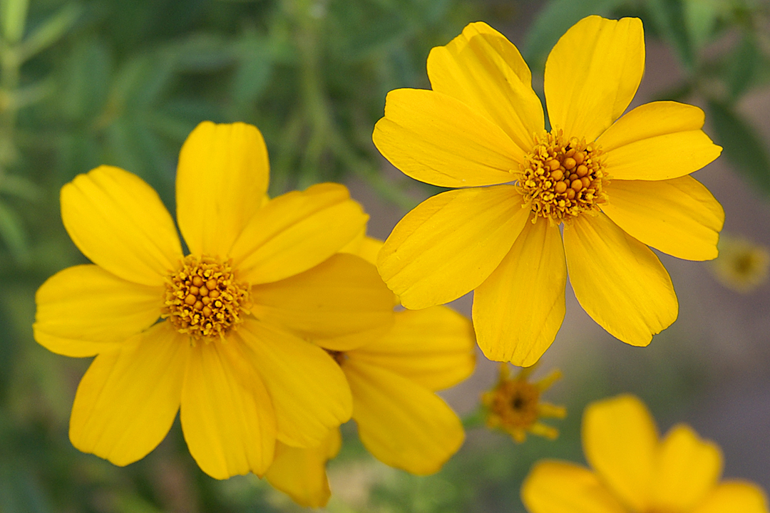 The Mexican Marigold Tagetes – Jan's Garden
