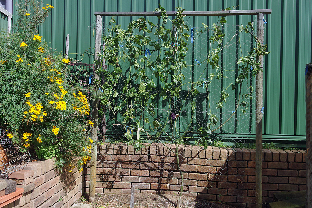 Nelly Kelly Passionfruit Vine