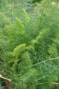 Bronze Fennel with New Winter Growth