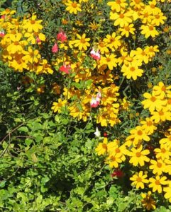 Salvia and Marigold autumn flowers